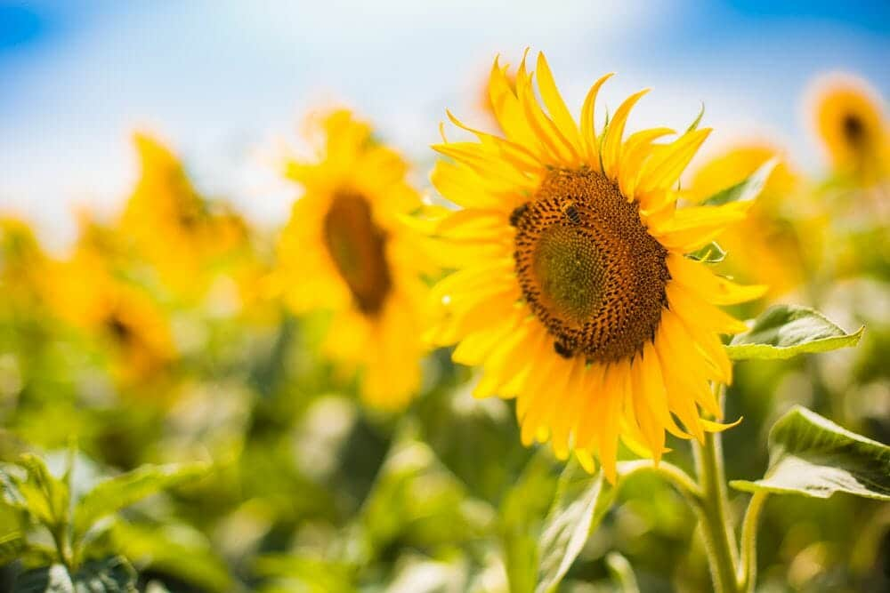 Bienen auf der Sonnenblume im Sonneblumenfeld.